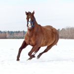 Quarter Horse going wild in Snow