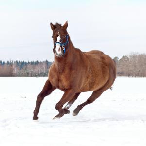 Quarter Horse going wild in Snow